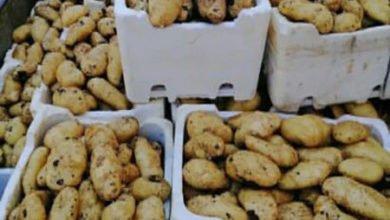 Photo of منتجو البطاطا في سهل عكار يشكون الحكومة والطبيعة.!!
