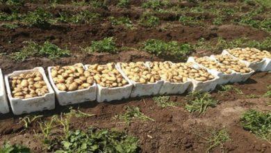 Photo of بدء قلع البطاطا الربيعية يؤمن حاجة السوق المحلية ويخفض الأسعار