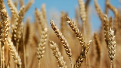 Photo of حصاد القمح سوف يتأخر والحرائق خفّضت كميات الإنتاج المتوقعة