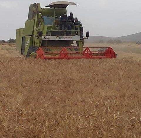 Photo of أجور الحصاد تنهك فلاحي الغاب