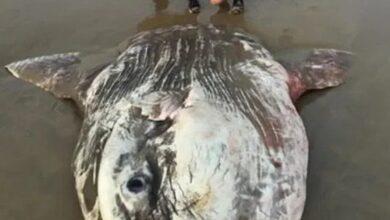Photo of مخلوق غريب على شاطئ أسترالي يحير السياح والسكان المحليين