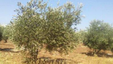 Photo of مخاوف مزارعي الزيتون من (المعاومة) والجفاف