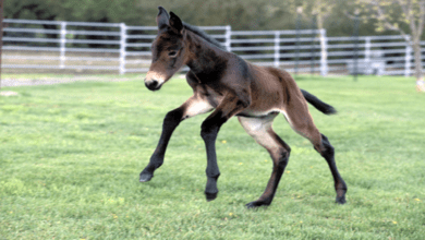 Photo of لأول مرة في العالم.. استنساخ حصان مهدد بالانقراض من مادة وراثية عمرها 40 عاما