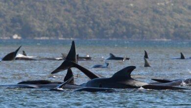 Photo of نفوق مئات الحيتان الطيارة في أكبر حدث من نوعه بتاريخ أستراليا (صور)