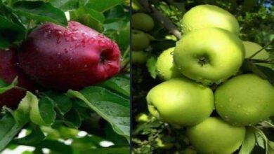 Photo of غابت (السورية للتجارة) فتسوّق التجار تفاح المنتجين