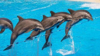 Photo of شركة أمريكية تصمم دلافين آلية تنوب عن الحيوانات الأسيرة